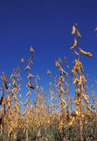 Field of dry soybean plants.