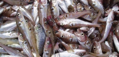 Warming ocean may bring major changes for U.S. northeast fish species